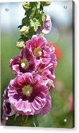 Pretty Hollyhock Flowers Acrylic Print