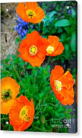 Pretty In Orange Acrylic Print