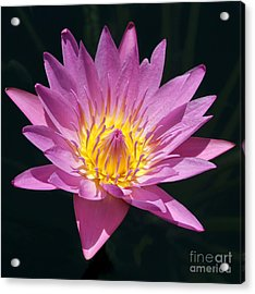 Pretty In Pink And Yellow Water Lily Acrylic Print by Sabrina L Ryan