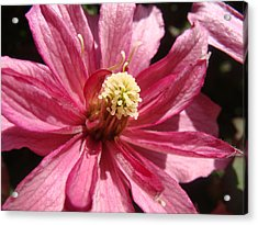 Pretty In Pink Acrylic Print by Cheryl Hoyle
