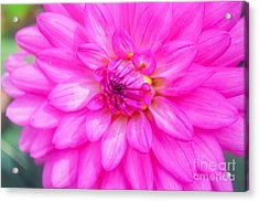 Pretty In Pink Dahlia Acrylic Print