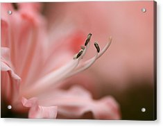 Pretty In Pink Acrylic Print by Jacqui Collett