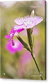 Pretty In Pink Acrylic Print by Pamela Gail Torres