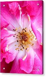 Pretty In Pink Rose Close Up Acrylic Print by Sabrina L Ryan