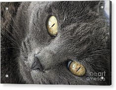 Pretty Kitty Eyes Acrylic Print by Darleen Stry