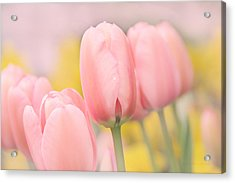 Pretty Pastel Pink Tulip Flowers Acrylic Print by Jennie Marie Schell
