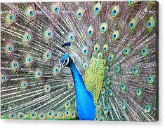 Acrylic Print featuring the photograph Pretty Peacock by Elizabeth Budd
