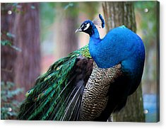 Pretty Peacock Acrylic Print by Paulette Thomas