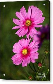 Pretty Pink Cosmos Twins Acrylic Print by Sabrina L Ryan