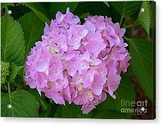 Pretty Pink Hydrangea Acrylic Print by Susan Wiedmann