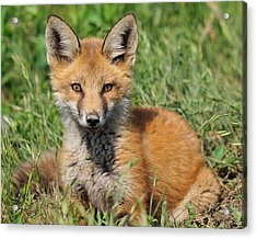 Pretty Red Fox Kit Acrylic Print by Angel Cher