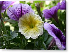 Pretty Yellow And Purple Petunias Acrylic Print by D Wallace
