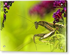 Preying Mantis Acrylic Print by Geraldine Scull