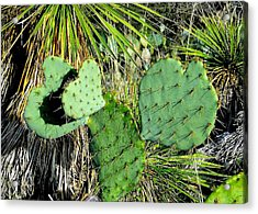 Prickley Hearts Acrylic Print by Cindy Croal
