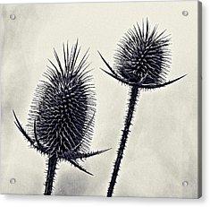 Prickly Acrylic Print by John Hansen