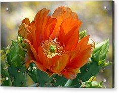 Acrylic Print featuring the photograph Prickly Pear Beauty by Cindy McDaniel
