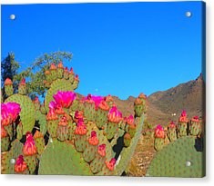 Prickly Pear Blooming Acrylic Print