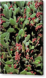 Prickly Pear Cactus Acrylic Print by Dr Jeremy Burgess/science Photo Library