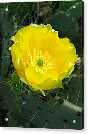 Prickly Pear Cactus Acrylic Print by William Tanneberger