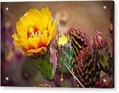 Prickly Pear Cactus Acrylic Print by Swift Family