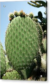 Prickly Pear (opuntia Ficus-indica) Acrylic Print by Pascal Goetgheluck/science Photo Library