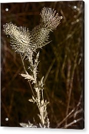 Prickly To The End Acrylic Print by Jo-Anne Gazo-McKim