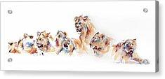 Pride Of Samburu Acrylic Print by Stephie Butler