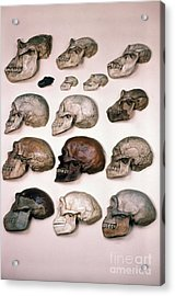 Primate Skulls Apes And Humans Acrylic Print by E R Degginger