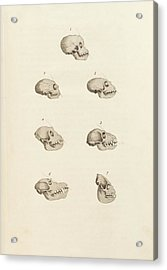 Primate Skulls Acrylic Print by King's College London
