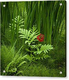 Primrose Amidst Ferns Acrylic Print