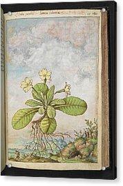 Primrose (primula Vulgaris) Acrylic Print by British Library