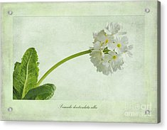 Primula Denticulata Alba Acrylic Print by John Edwards