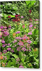 Primula 'harlow Carr Hybrids' Flowers Acrylic Print