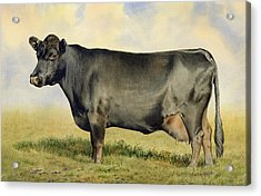 Prize Dexter Cow Acrylic Print by Anthony Forster