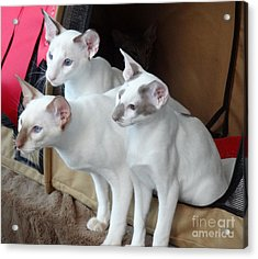 Acrylic Print featuring the photograph Prize Winning Triplets by Laurel Best