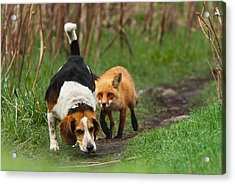 Probably The World's Worst Hunting Dog Acrylic Print by Mircea Costina Photography