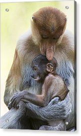 Proboscis Monkey Mother Holding Baby Acrylic Print
