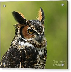 Profile Of A Great Horned Owl Acrylic Print by Inspired Nature Photography Fine Art Photography