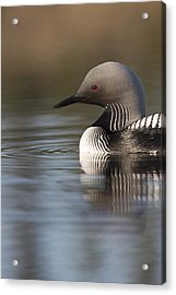Profile Of A Pacific Loon Acrylic Print by Tim Grams
