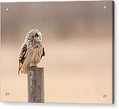 Profile Of A Short-eared Owl 1 Acrylic Print by Timothy McIntyre