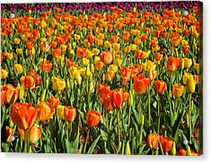 Profusion Of Tulips Biltmore Estate Nc Acrylic Print