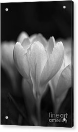 Promise Of Spring Acrylic Print