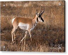 Pronghorn Antelope 2 Acrylic Print by Vivian Christopher