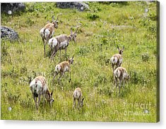 Pronghorn Antelope In Lamar Valley Acrylic Print by Belinda Greb