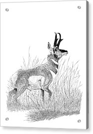 Pronghorn Acrylic Print by Carl Genovese