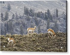 Pronghorn Does Acrylic Print by Jill Bell