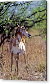Pronghorn In Spring Acrylic Print by Martha Marks