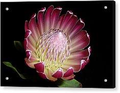 Protea Beauty Acrylic Print