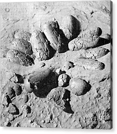 Protoceratops Eggs Cretaceous Dinosaur Acrylic Print by Science Source