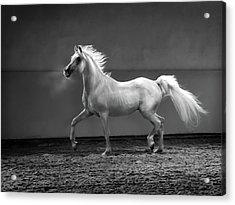 Proud Arabian Horse - Stallion In Acrylic Print by Kerrick